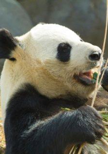 A panda eats bamboo at the National Zoo