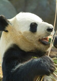 A panda eats bamboo at the National Zoo